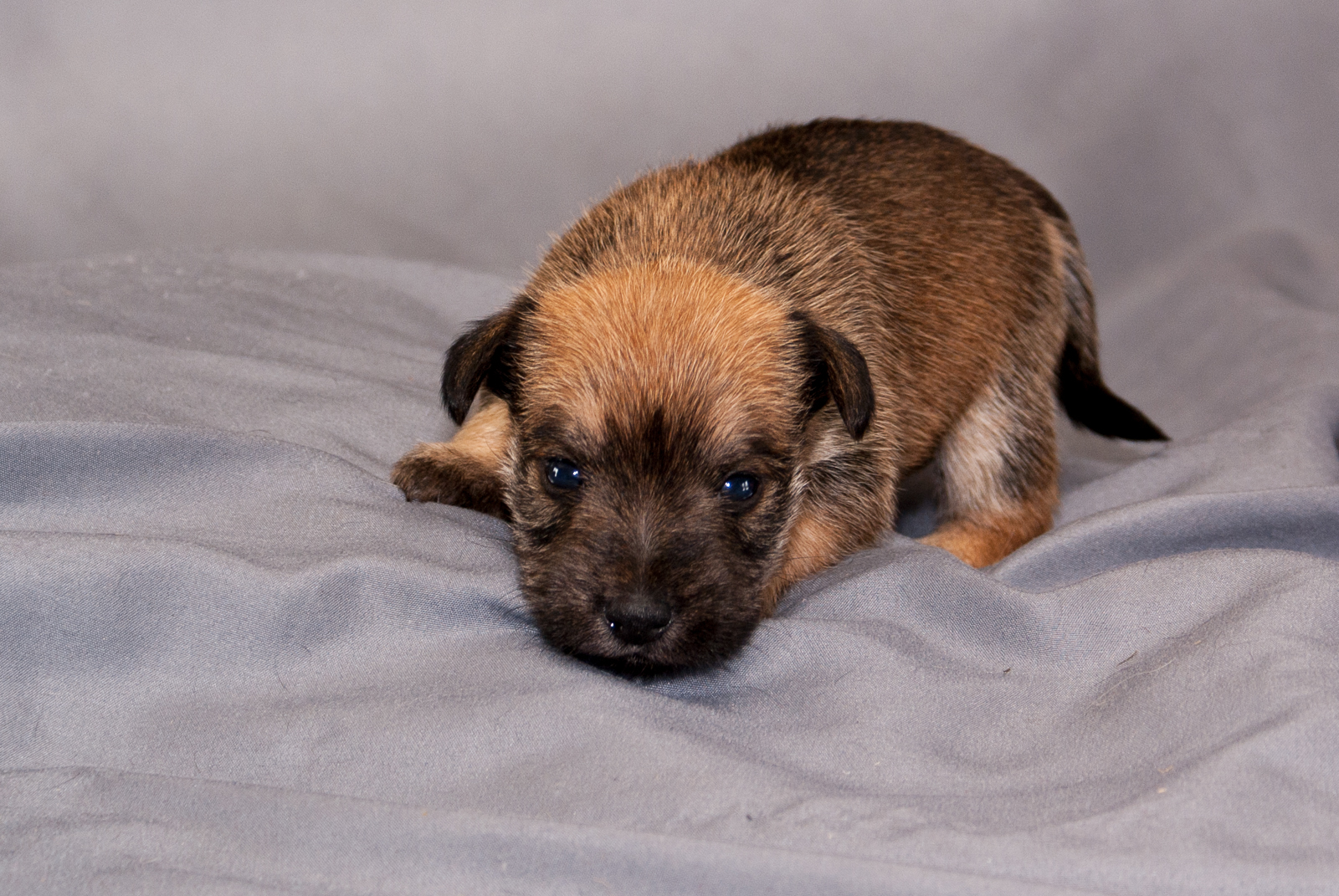Female - Brown and Black Schnauzer Yorkie Pup